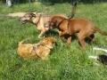 lezione-socializzazione-cani (FILEminimizer)