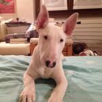 Bombo, l'indomabile Bull Terrier!.