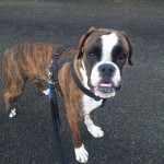 Coockie, un Boxer pieno di energie!