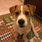 jack-russel-cucciolo
