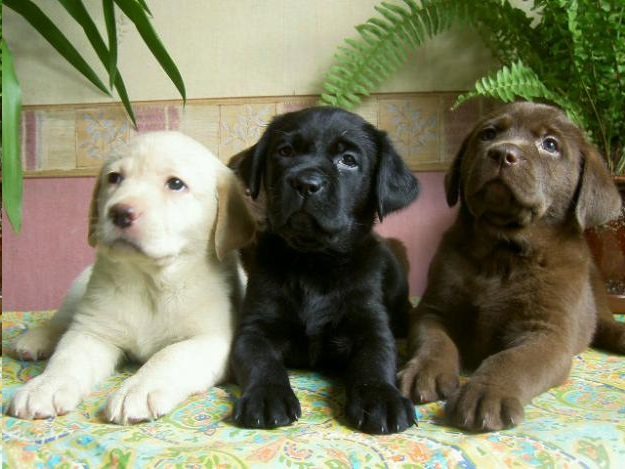 cuccioli-labrador-retriever - Educazione del Cane