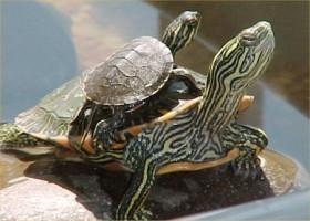 tartarughe-d'acqua-dolce