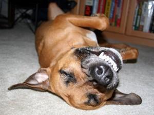 dentatura-cane